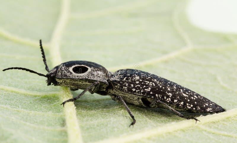 1,5 grandes largos, primer observado del escarabajo de tecleo imagen de archivo libre de regalías