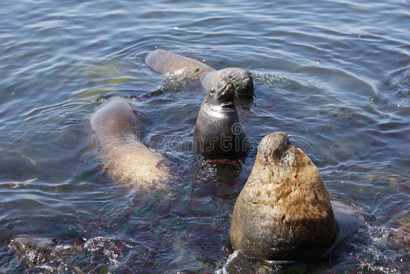 Grandes leões de mar fotografia de stock
