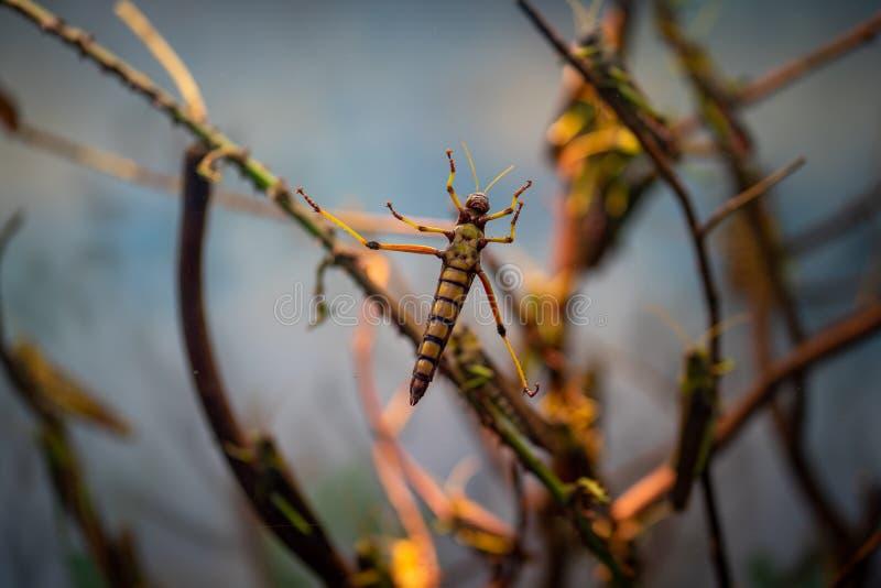 Grandes locustídeo no jardim zoológico de Francoforte imagens de stock