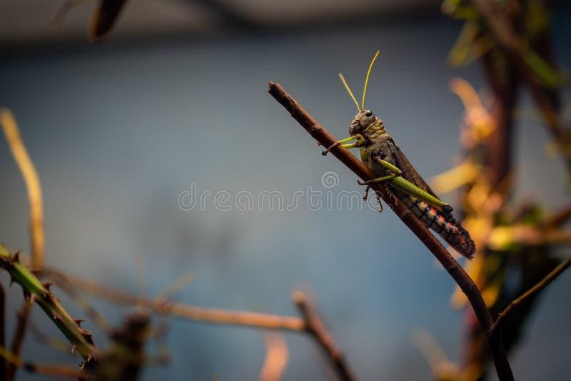 Grandes locustídeo no jardim zoológico de Francoforte foto de stock royalty free