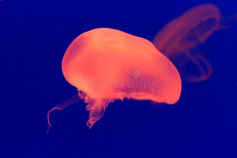 Grandes medusas alaranjadas coloridas imagem de stock
