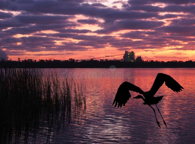 Grandes mouches de héron bleu du rivage de lac comme hausses de Sun à la centrale images libres de droits