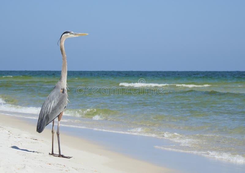 Grandes olhares da garça-real azul para fora ao mar em uma praia branca bonita de Florida da areia foto de stock royalty free