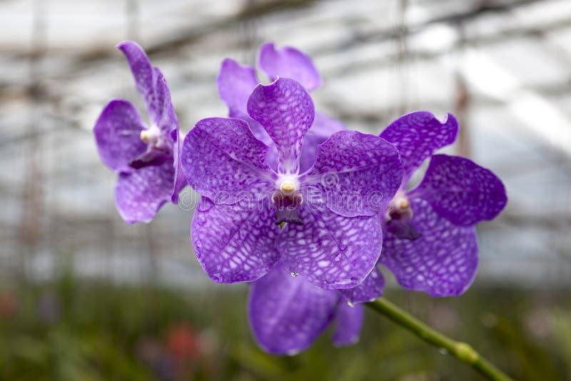 Grandes orchidées de fleur de bleu marine Beau plan rapproché de fleurs Fleur d'orchidée sur une branche dans un jardin des orchi images libres de droits