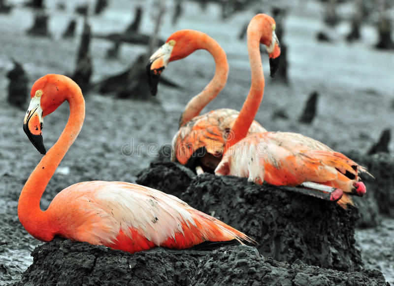 Grandes pájaros del flamenco en la jerarquía foto de archivo libre de regalías