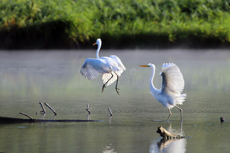 Grandes pássaros brancos da dança da manhã do egret (Ardea alba) fotografia de stock royalty free