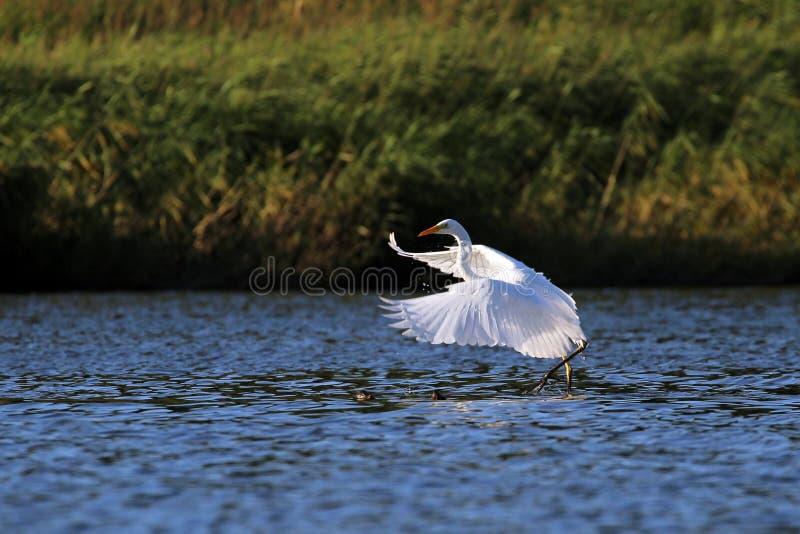 Grandes pássaros brancos da dança da manhã do egret (Ardea alba) imagem de stock royalty free
