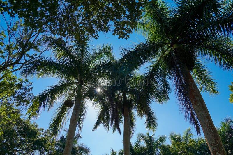 Grandes palmeras foto de archivo libre de regalías