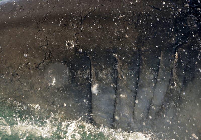 Grandes papadas del tiburón blanco foto de archivo