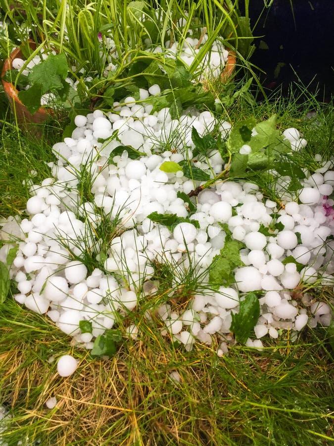 Grandes pedras de granizo no jardim entre a flor e as folhas danificadas fotografia de stock royalty free