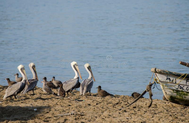 Grandes pelícanos grises en la playa de Manzanillo Colima imagen de archivo libre de regalías