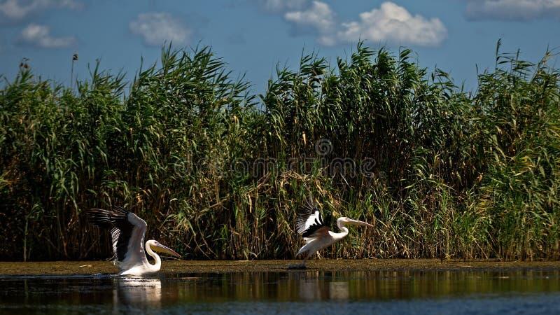 Grandes pelicanos brancos no delta de Danúbio em Romênia foto de stock