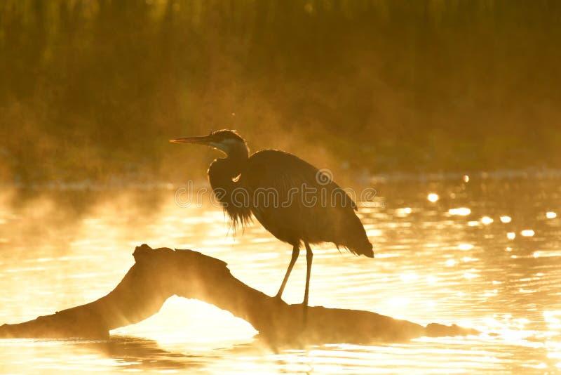 Grandes perches d'un héron bleu sur un rondin, le brouillard de matin et le soleil donnant à la scène une tonalité orange photographie stock libre de droits
