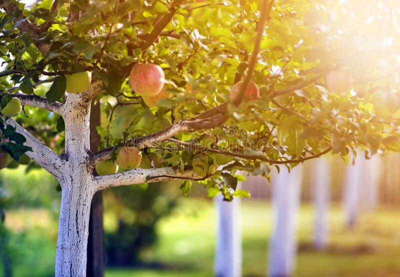 Grandes pommes bonnes m?rissant sur les pommiers blanchis dans le jardin ensoleill? de verger sur le fond vert brouill? photos stock