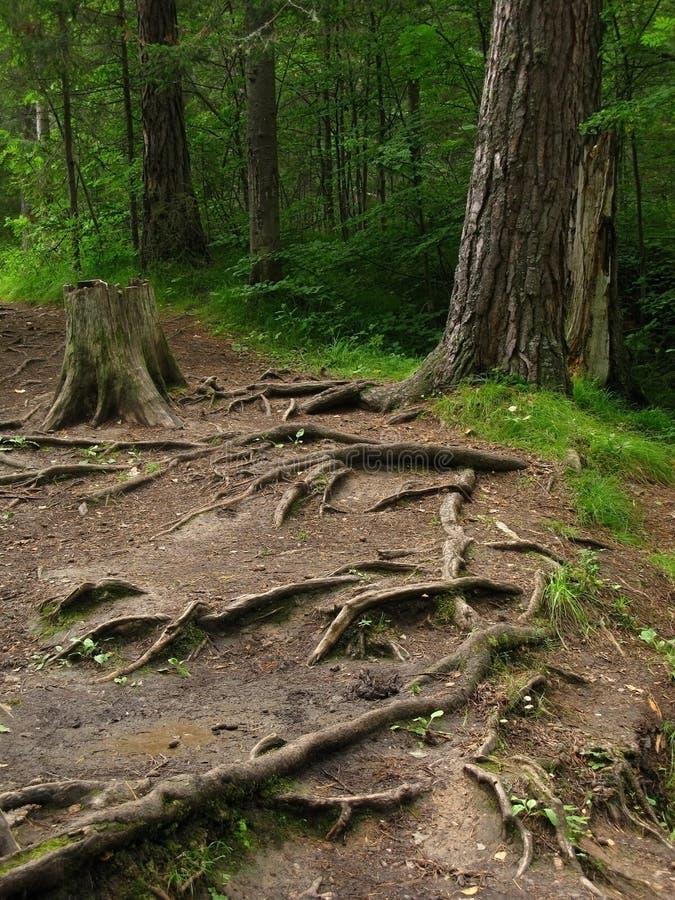 Grandes racines de pin collant hors de la terre dans la forêt images libres de droits