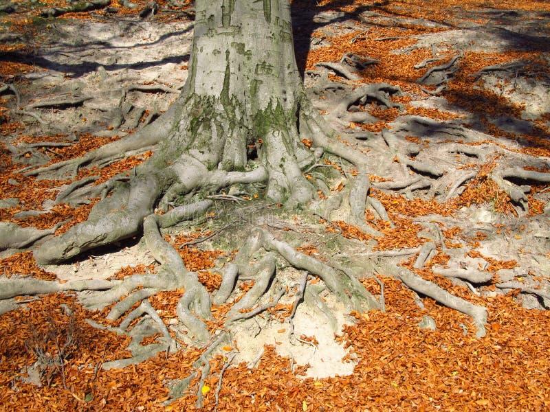 Grandes racines en automne photos libres de droits