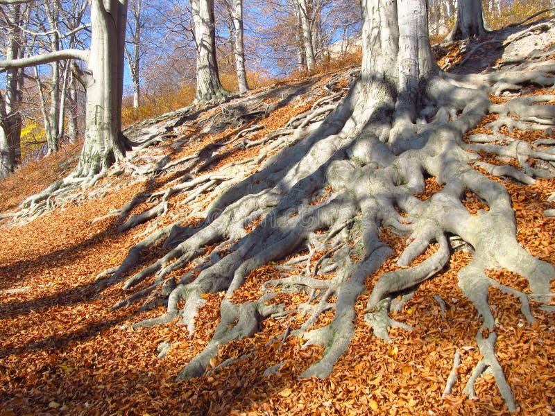 Grandes racines en automne images libres de droits
