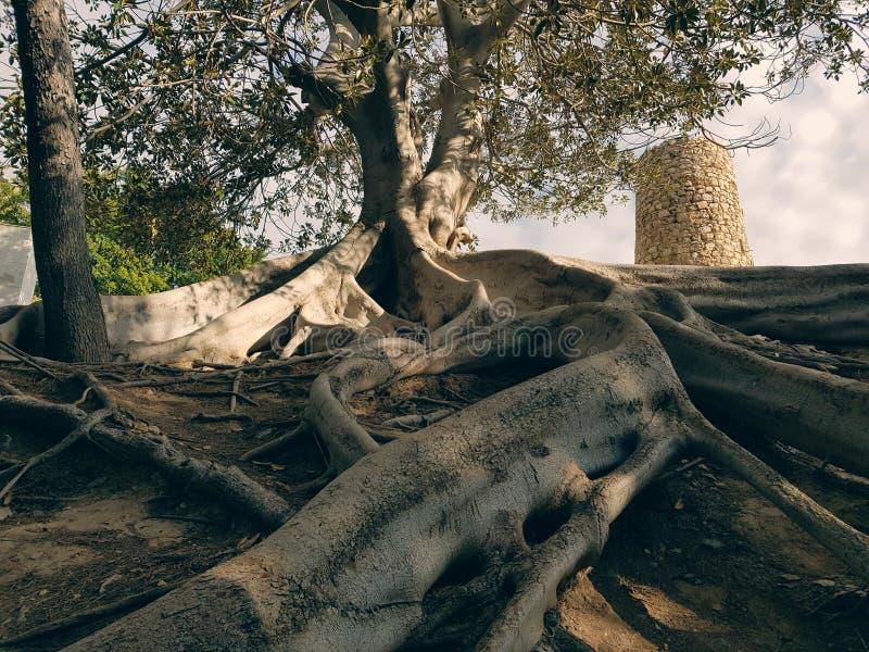 Grandes racines externes de l'arbre puissant photos stock