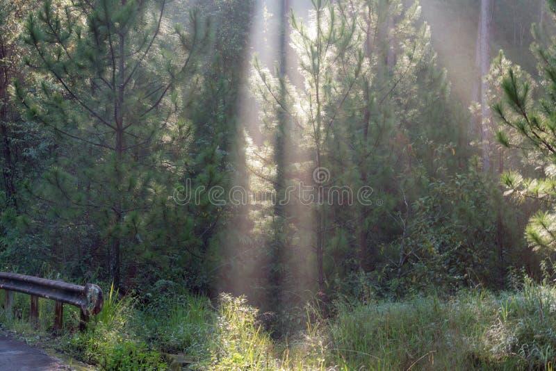 Grandes rayos solares en el bosque del pino con la magia de la luz, de la niebla y de la sol en la parte 2 de la salida del sol imagenes de archivo