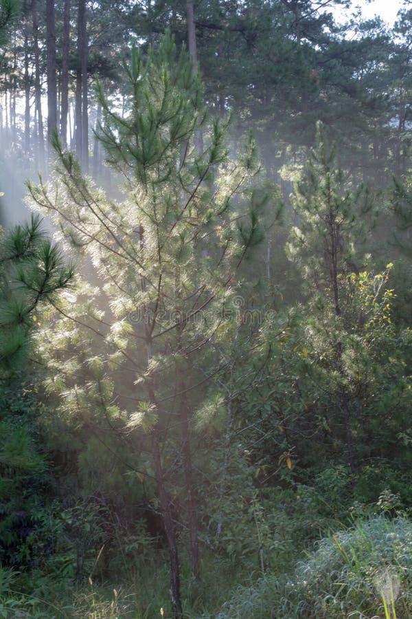 Grandes rayos solares en el bosque del pino con la magia de la luz, de la niebla y de la sol en la parte 3 de la salida del sol foto de archivo