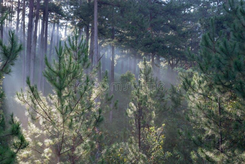 Grandes rayos solares en el bosque del pino con la magia de la luz, de la niebla y de la sol en la parte 4 de la salida del sol fotografía de archivo libre de regalías