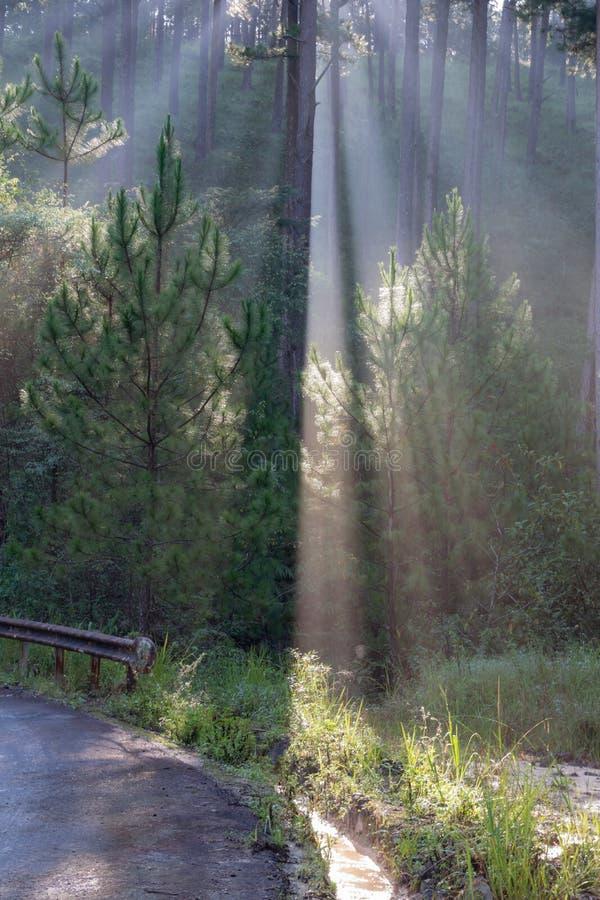 Grandes rayos solares en el bosque del pino con la magia de la luz, de la niebla y de la sol en la parte 6 de la salida del sol imagenes de archivo