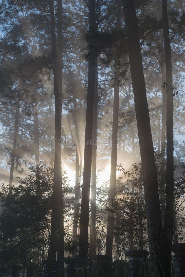 Grandes rayos solares en el bosque del pino con la magia de la luz, de la niebla y de la sol en la parte 7 de la salida del sol imagen de archivo