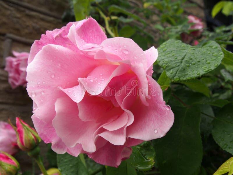 Grandes rosas cor-de-rosa na flor e na brotamento cobertas nos pingos de chuva que escalam acima uma parede de pedra em um jardim fotografia de stock