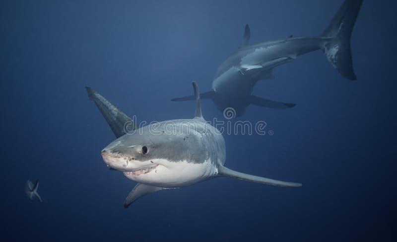 Grandes tiburones blancos imagen de archivo libre de regalías