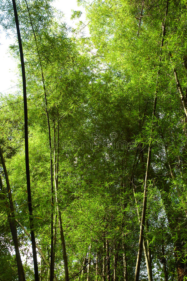 Grandes tiges en bambou ! image stock