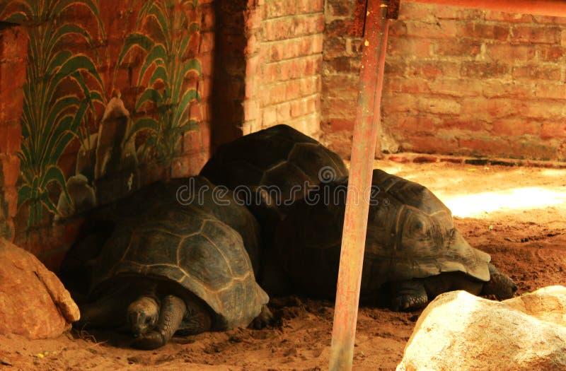 Grandes tortues photo libre de droits