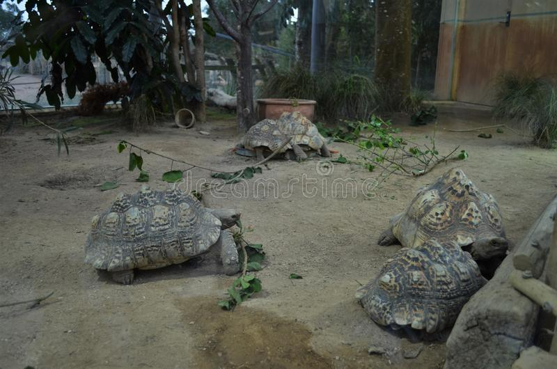 Grandes tortues dans un zoo photo libre de droits