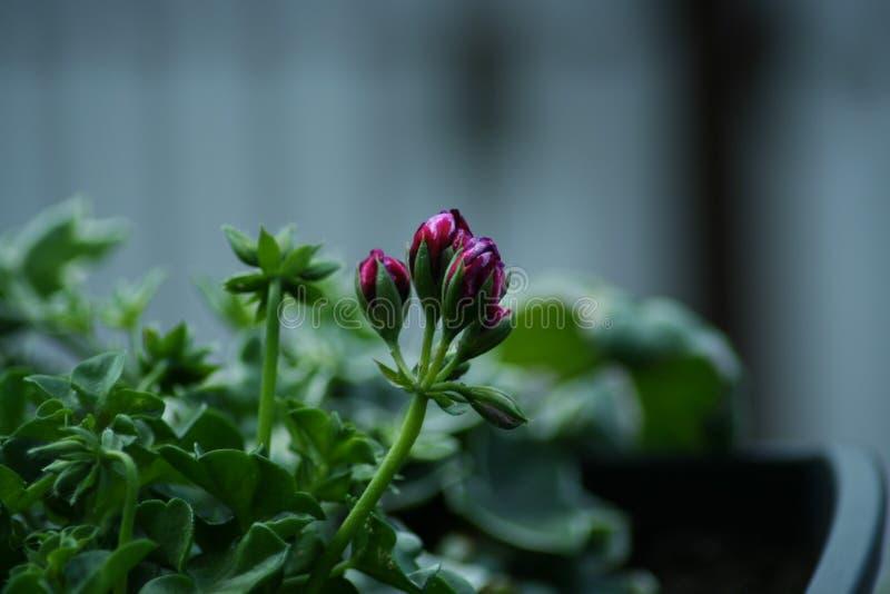 Grandeza Ivy Velvet del Pelargonium fotografía de archivo libre de regalías