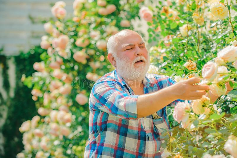 Grandfather enjoying in the garden with roses flowers. Happy Grandfather working in the garden. Senior gardener. Flower stock photography