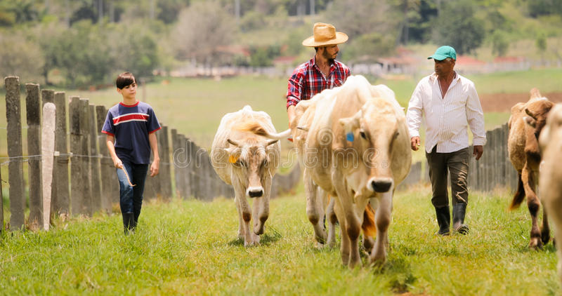 Grandfather Father Child Pasturing Cows In Family Ranch stock images