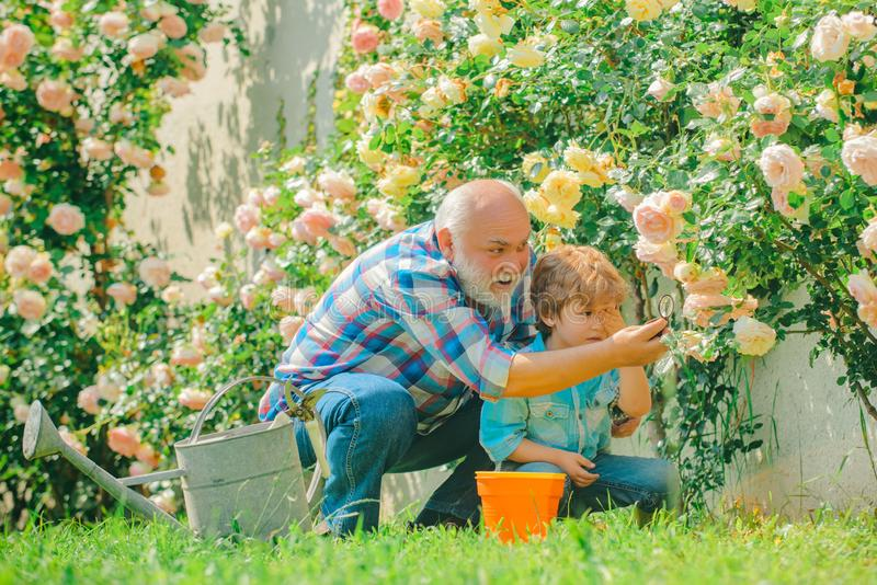 Grandfather and grandchild enjoying in the garden with roses flowers. Family generation and relations concept. Gardening royalty free stock photos