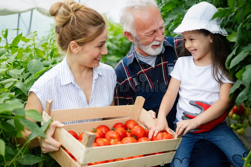 Grandfather growing organic vegetables with grandchildren and family at farm stock image