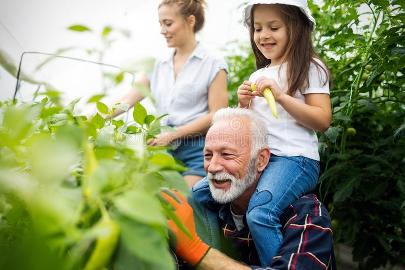 Grandfather growing organic vegetables with grandchildren and family at farm stock photo