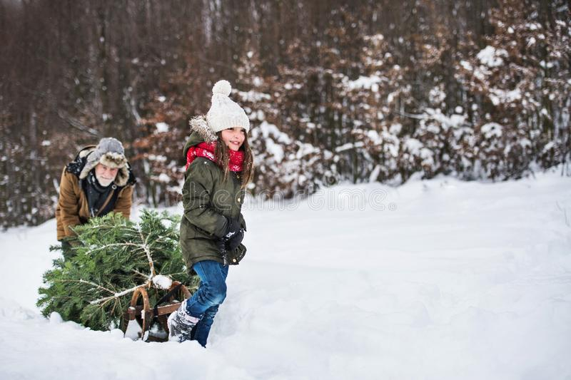 Grandfather and small girl getting a Christmas tree in forest. Copy space. Grandfather and a small girl getting a Christmas tree in forest. Winter day. Copy royalty free stock image