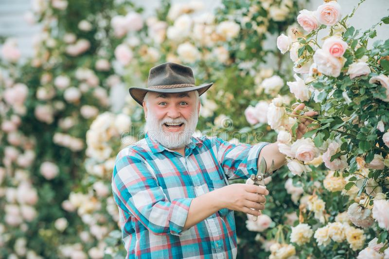 Grandfather working in garden over roses background. Happy gardener with spring flowers. Grandfather enjoying in the. Garden with flowers. Spring and summer stock photo