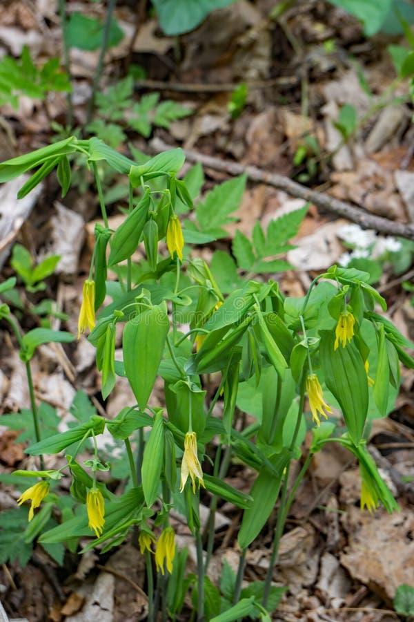 Grandflora d'Uvularia d'†Grand-fleuri de Bellwort « image libre de droits