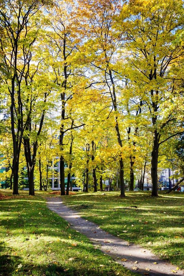 Grandi alberi di acero di autunno con le foglie gialle fotografia stock libera da diritti