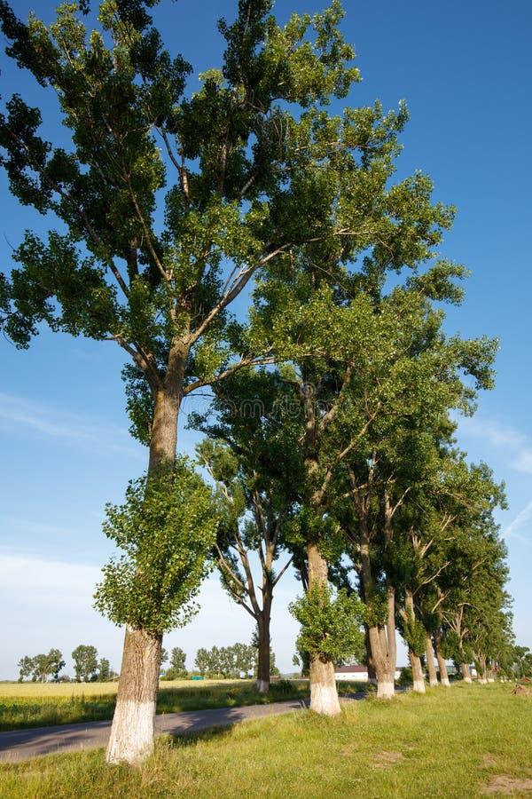 Grandi alberi di pioppo vicino la strada immagine stock libera da diritti