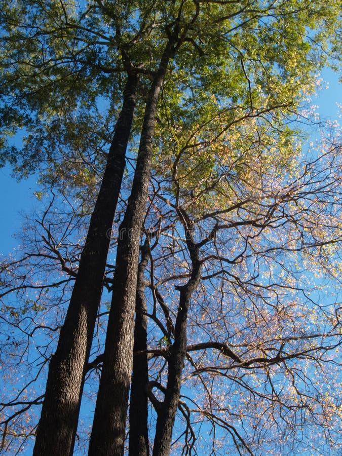 Grandi alberi e foglie verdi d'espansione su un fondo di cielo blu e di sole luminoso durante il giorno Per il fondo della natura fotografia stock libera da diritti