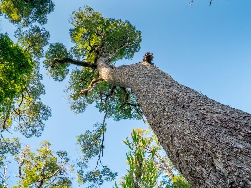 Grandi alberi vicino a Pucon fotografia stock libera da diritti