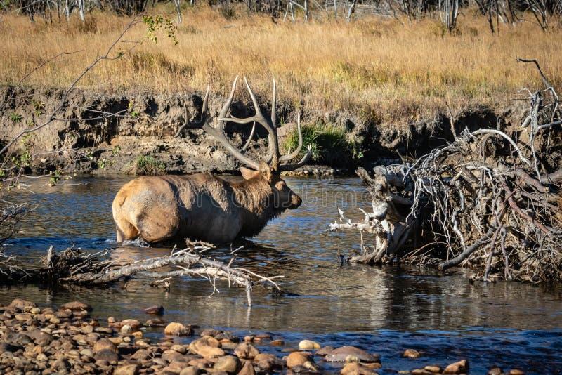 Grandi alci del toro che attraversano la torrente montano immagini stock libere da diritti