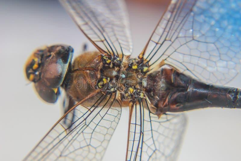 Grandi ali della mosca fotografia stock libera da diritti