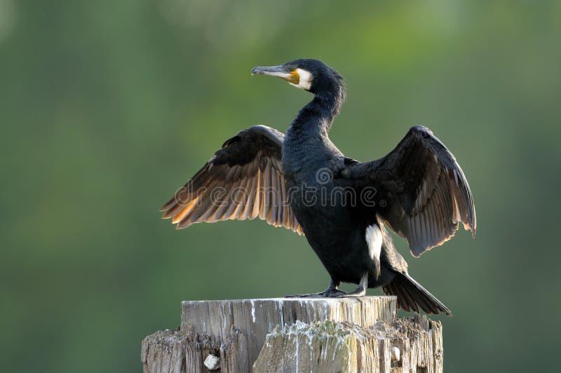 Grandi ali di secchezza del Cormorant (carbo del Phalacrocorax) immagini stock libere da diritti