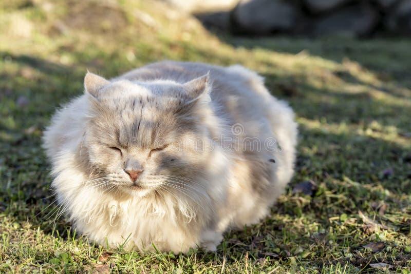 Grandi bei, dei sonni lanuginosi e colorati di pesca del gatto su un prato inglese ben curato nella campagna, un giorno di estate immagini stock libere da diritti