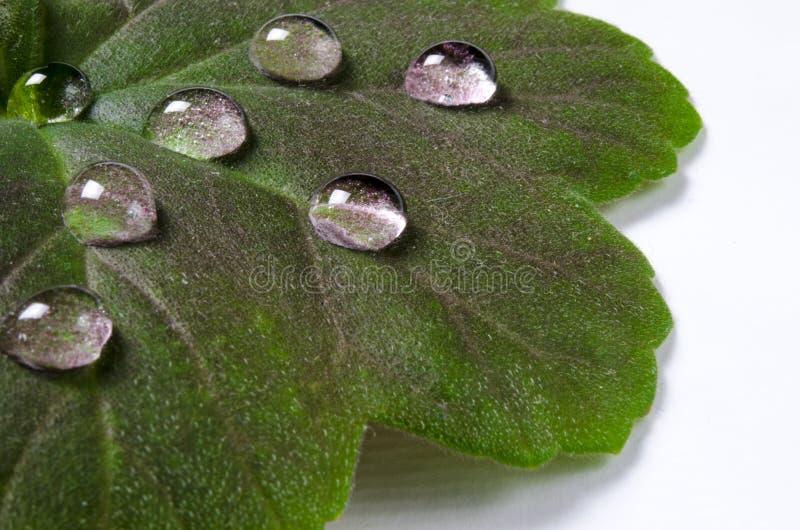 Grandi belle gocce dell'acqua piovana trasparente su una macro verde della foglia Le gocce di rugiada di mattina emettono luce al immagini stock libere da diritti